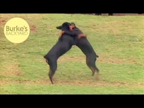 Burke's Backyard, German Pinscher Road Test