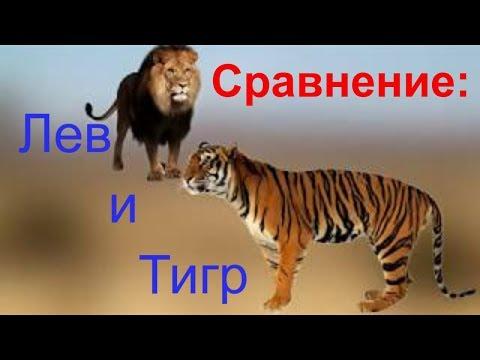 Сравнение: Цари зверей. Тигр и Лев. Кто круче?. Gwadawa