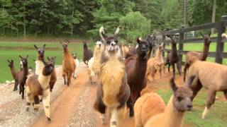 llamas on the loose