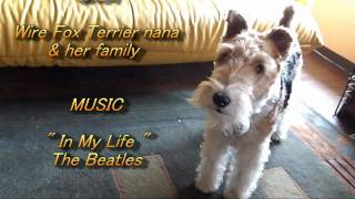 Wire Fox Terrier nana and me, this is an ordinary day in our life. ...