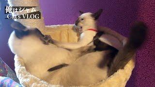 CATS FIGHT  Old Siamese VS  Modern Siamese kitten