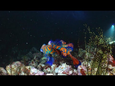 The Magical Mating Ritual Of The Mandarin Fish (4K)