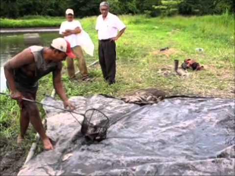 Cultivo de tilapia en el salvador youtube for Densidad de siembra de tilapia