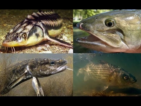 5 Strange North American Fish You've Probably Never Heard Of.