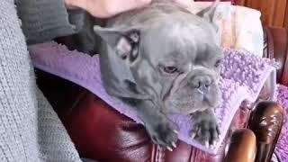 Мышка♥️👍#puppydog #fyou #funnymemes #купитьщенка #лайктайм #frenchbulldog #голубойфранцуз #люблю