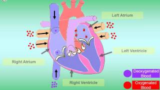 How it works - Human Heart