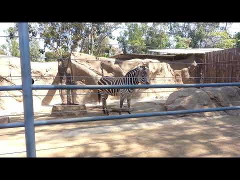 San Diego Zoo: Zebras thumbnail