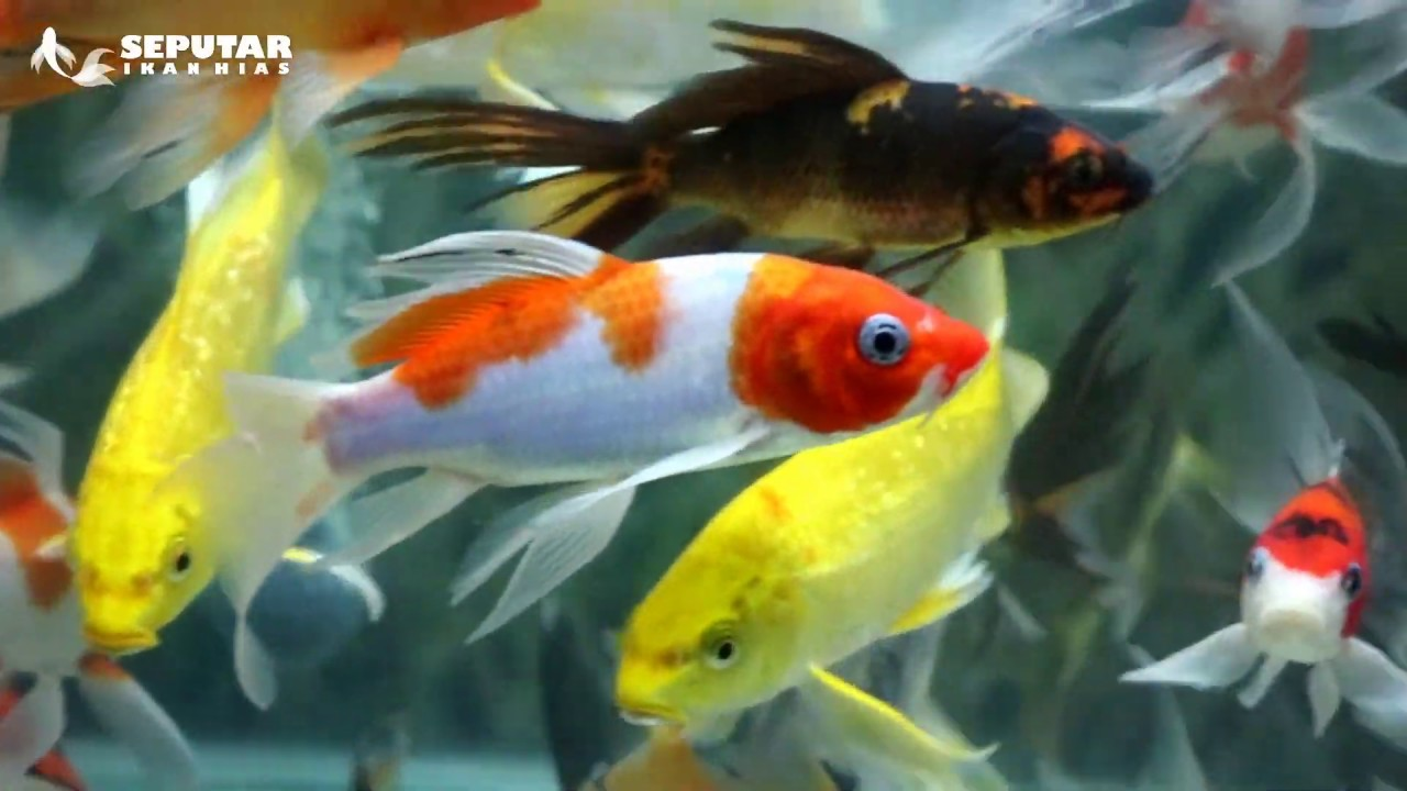Kontes Ikan Koi Nasional 15th All Indonesia Young Koi Show Seputar Ikan Hias Youtube
