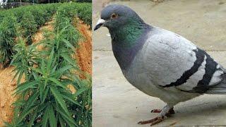 Pigeons help UK Police bust Marijuana farm