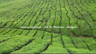 Cameron Highlands - Boh Tea Plantation - Malaisie
