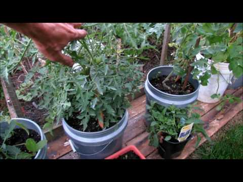 A Tour of Every Tomato Plant in My Garden:  All the Variety Names & Ways I am Growing Them