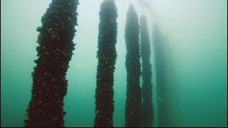 La semaine verte | Canards prédateurs de moules