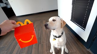 LABRADOR TRIES MCDONALDS HAPPY MEAL AGAIN!!