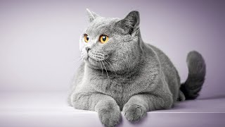 What Is The Best Cat Breed For My Family Home?