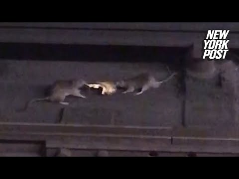 Two Subway Rats Fight Over A Slice Of Pizza