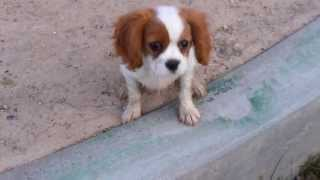 Annabelle Cavalier King Charles Spaniel Puppy 12 Weeks Old Jumps To Her Owners Lap