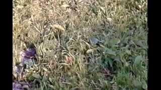 видео На лугах. Животноводство, птицеводство, техника.