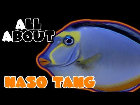 All About The Naso Tang Or Orange Spine Unicornfish