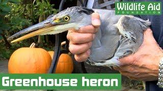 Starving heron nursed back to health!