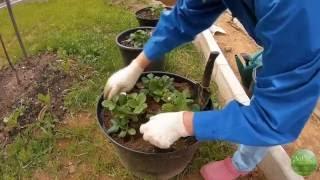 видео Сорта ампельной клубники