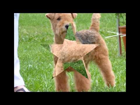 Лейкленд   Терьер/Lakeland Terrier (порода собак HD slide show)!