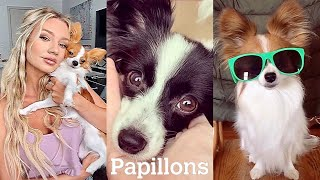 NEW Papillon Video Compilation (CUTE & FUNNY MOMENTS) | PAPILLON DOG LOVE