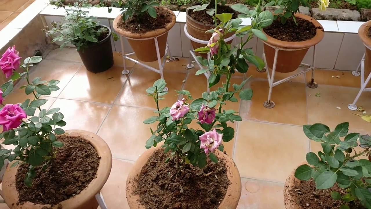 Roses in JoeDev\'s terrace garden. - YouTube
