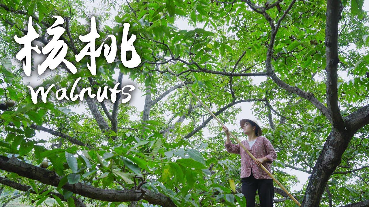 老树核桃——沉淀百年的果仁香气【滇西小哥】