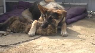 Собака забавно играет с кошкой !. :) Не для слабонервных!
