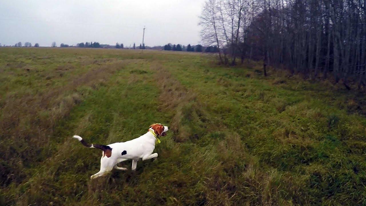 Охота #51 поиски зайца, начало охот с молодой гончей