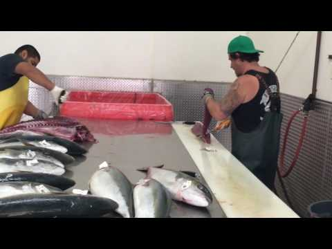 60 Pound Blue Fin Being Processed At Five Star Processing