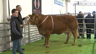 Record : la vache la plus chère de France est une limousine ! 🐮