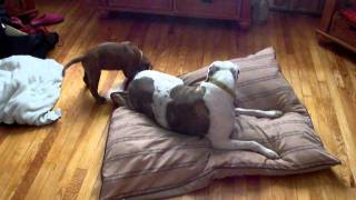 Buddha 9 Week Dogue De Bordeaux Has Play Time With 6 Year Old Pit Bull Shelby