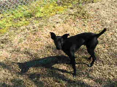 Video Of Adoptable Pet Named Brown Feist Mix