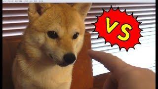 絶対にツンツンしたい飼い主 vs 絶対にペロペロしたい柴犬