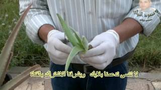 صبار الالوفيرا وطرق اكثاره وطريقة استخراج وعمل الزيت منه  Cactus Alalovir and  and oil