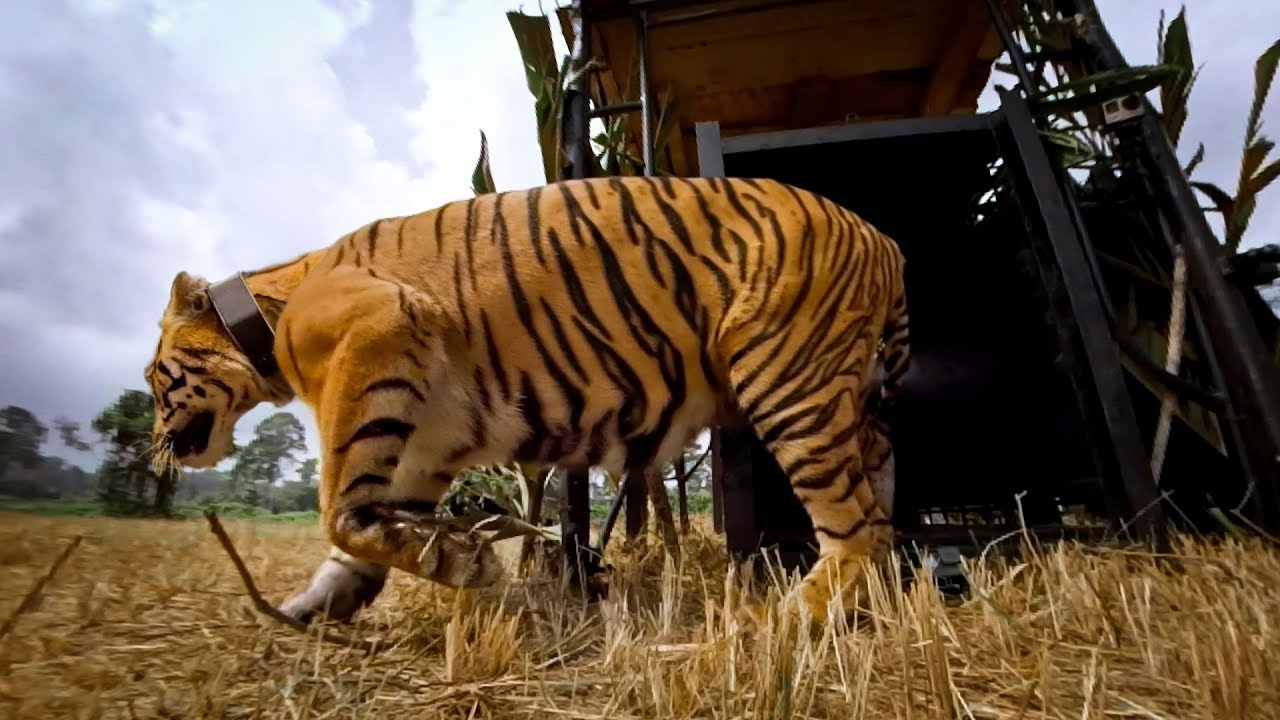 gopro: let the tiger go - youtube
