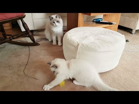 Introducing new Ragdoll kitten Nerina to Merlin - part1