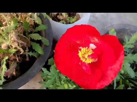 269 my new experience for garden poppy hindi urdu 1217 youtube 269 my new experience for garden poppy hindi urdu 1217 mightylinksfo