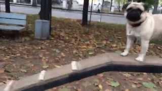 Мопс проходит снаряд БУМ на собачьей площадке
