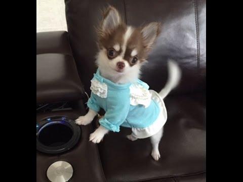 Meet Jiggie..Micro Teacup Chihuahua. Two Pounds