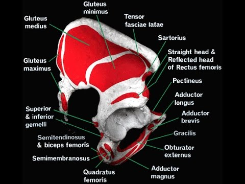 human anatomy- attachment of hip bone with muscle - youtube, Human Body