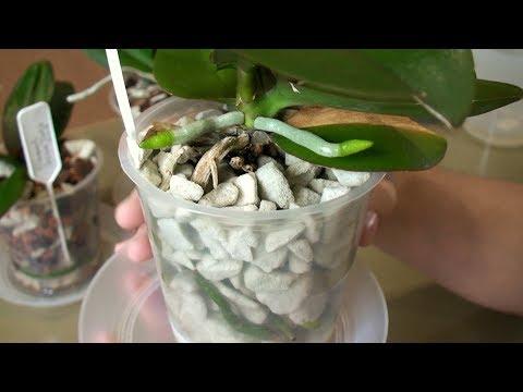 орхидеи в грунте где корни не гниют и нет белых букашек