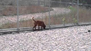 Big Red 4 Year Old Boxer/mastiff Mix