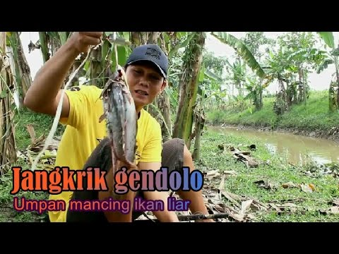 Umpan ikan liar di sungai   Jangkrik GENDOLO
