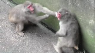 Animal Fight.Monkey fight