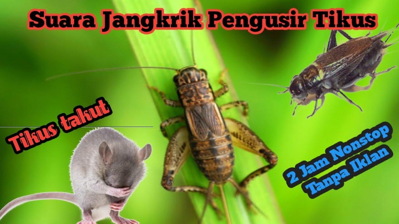 Suara Jangkrik Pengusir Tikus Pengusir Nyamuk Pengusir Kecoa 2 Jam Nonstop Youtube Kenapa tikus takut suara jangkrik