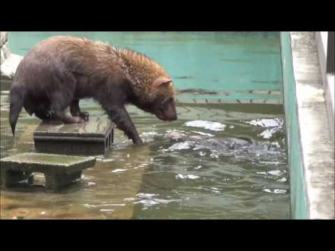泳ぐヤブイヌ【京都市動物園にて170509】Bush dog swimming@Kyoto city zoo