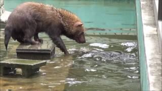 2017年5月9日(火)、京都市動物園にて撮影。 Bush dog swimming at Kyoto...