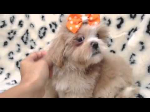An affectionate and obedient Female Lhasa Apso